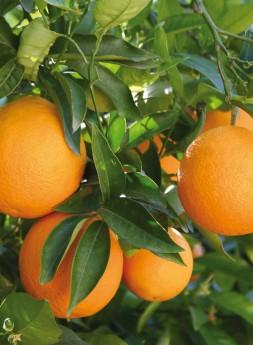 naranjas-frases-miticas-en-la-cultura