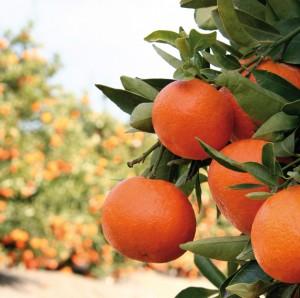 Foto-naranjas-finca-El-Esparragal