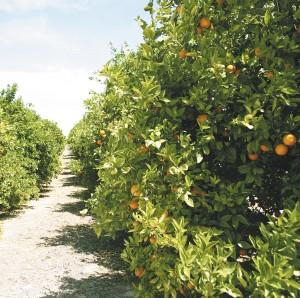 Foto-árboles-de-limones-Naranjas-Jiménez