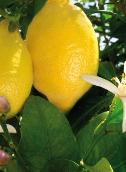 Limones y Naranjas Jiménez.