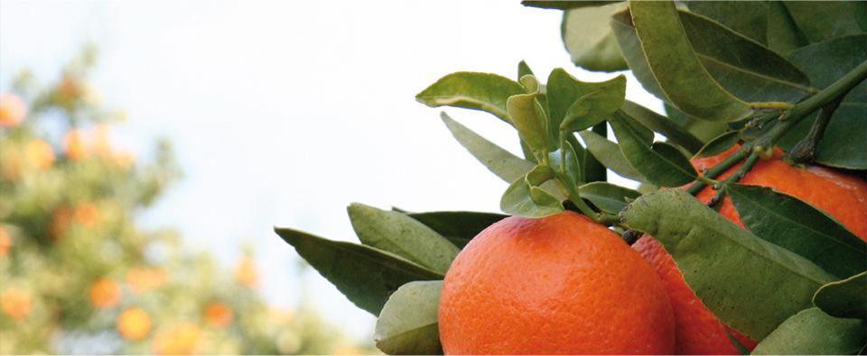 Foto-de-las-naranjas